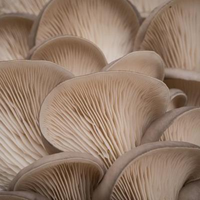 oyster-fresh-indusmushrooms.com